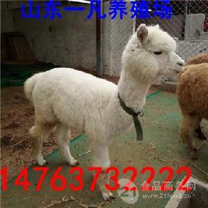 云南哪里卖一只羊驼多少钱 在哪里能买到
