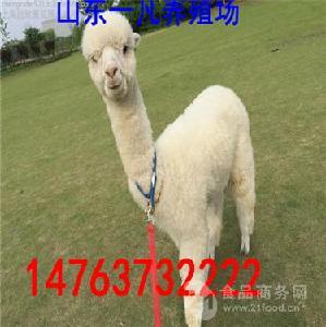 安徽景区小羊驼价格