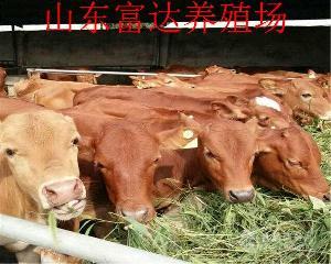 贵州种牛价格