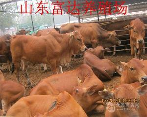 利木赞牛种牛价