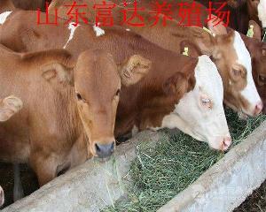 白色的牛都是夏洛莱吗