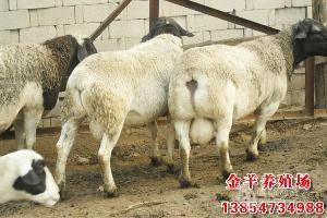 纯种杜泊羊多少钱一只