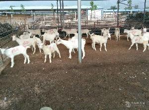 養羊場 美國白山羊價格