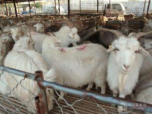 今年肉羊 美国白山羊