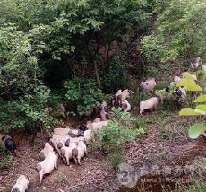 四川雍农生态香猪认养代养服务 猪字社模式 代养年猪 吃健康猪肉