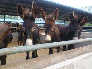 烏頭驢德州驢關中驢養殖基地