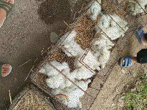 白烏雞價格烏雞苗多少錢一只