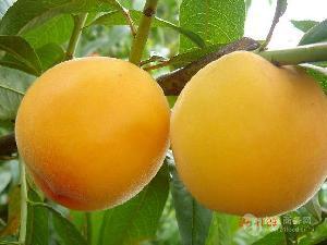 黄金蜜4号桃树苗