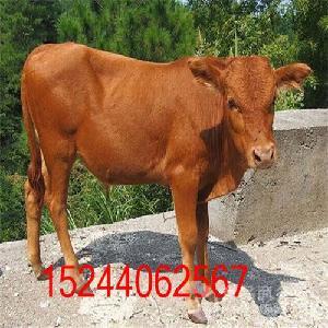 肉牛犊子多少钱一头