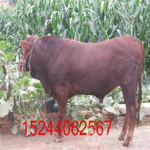 肉牛犊子多少钱一斤