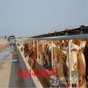 哪里出售小公牛崽