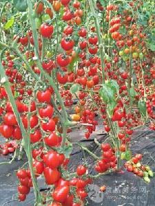 红色樱桃小番茄--红富柿