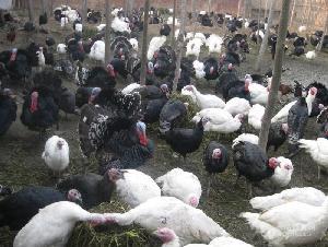 七彩山鸡多少钱一只 野鸡苗价格多少钱