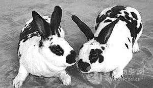 長毛兔可以剪幾斤毛長毛兔
