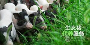 雍农香猪认养 生态猪认养 出售香猪种猪商品猪