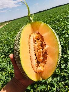 新疆哈密 哈密瓜有机种植特级8斤/个 机场落地配包邮