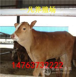 桂林今日肉牛价格多少
