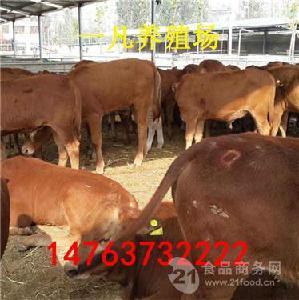 河北西门塔尔公牛种价钱