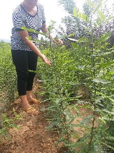 自家苗圃皂角苗300萬,貴州皂角苗價格