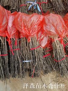 大红袍花椒苗~50公分80公分1米的大红袍花椒苗原产地价格