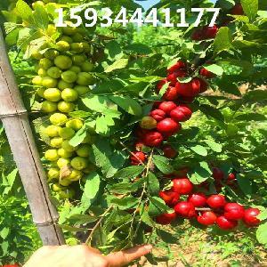 農大8號鈣果樹苗=農大8號鈣果樹苗價格