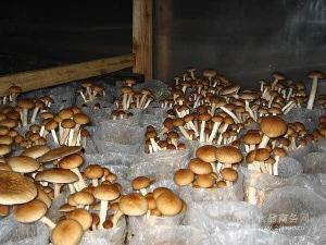 長期供應新鮮茶樹菇,干茶樹菇