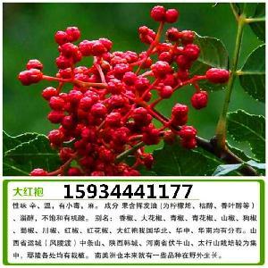 花椒苗 大紅袍花椒苗 大量出售花椒苗