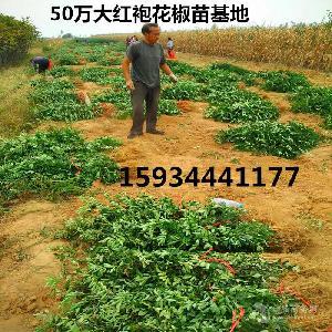 一畝地需要多少花椒苗