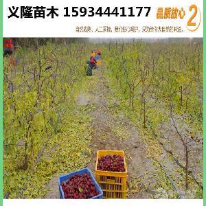 棗樹苗-1年棗樹苗-2年棗樹苗價格