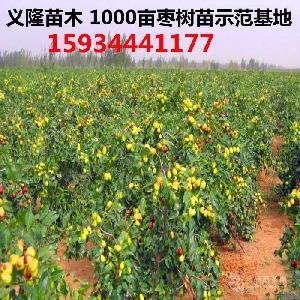 棗樹苗-80公分高棗樹苗-棗樹苗批發價格