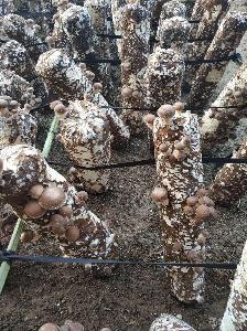 供應鮮香菇,產地山東萊蕪