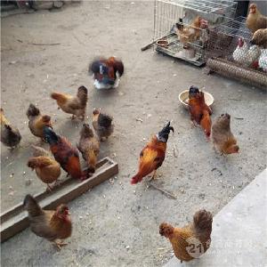 出售纯种元宝鸡 销售元宝鸡 大量出售黑色元宝鸡