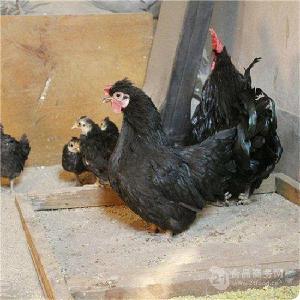 白色元宝鸡价格元宝鸡 常年出售元宝鸡