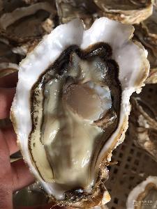 乳山海蛎子批发都山东生蚝基地