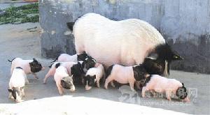 巴马香猪批发价格 小猪仔价格
