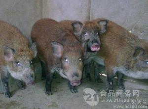 巴馬香豬幼崽價格種豬苗價格