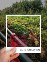 紅楓林土公雞